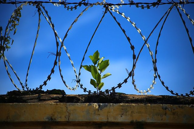 A plant growing up among the barbed wire on top of a prison wall, signifying growth even in terrible circumstances.