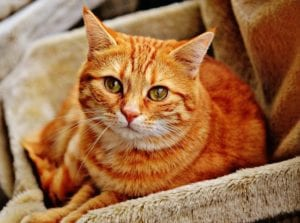 A marmalade cat sitting on a blankket in a basket