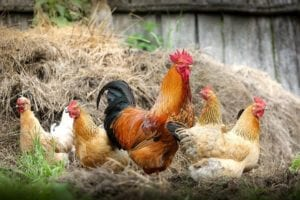 A rooster with a group of hens in some hay