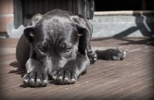 A dog lying on a deck with it's nose between it's paws